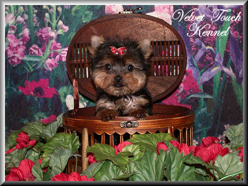 Very Tiny Teacup Yorkie Puppy Sold!