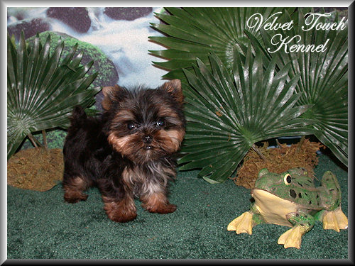 Very Tiny Teacup Yorkie Puppy For Sale!