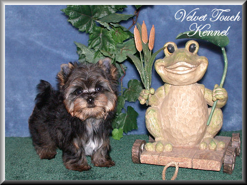 Tiny Teacup Yorkie Puppy For Sale!