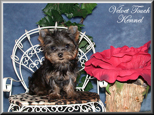 Tiny Teacup Yorkie Puppy Sold!