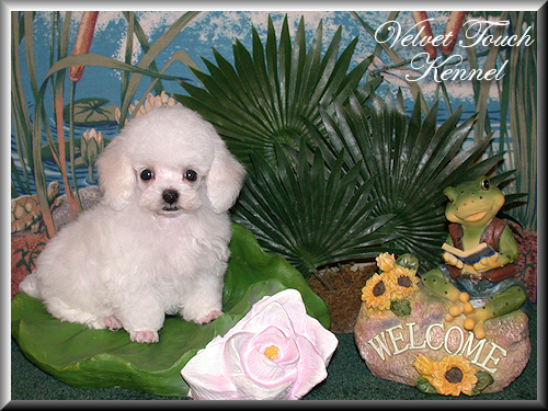 Teacup Poodle Puppy Sold!