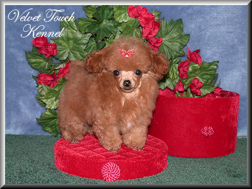 Very Tiny Teacup Poodle Puppy For Sale!