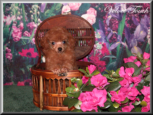 Tiny Teacup Poodle Puppy Sold!