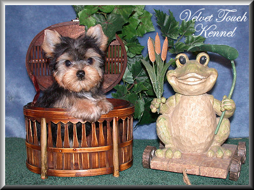 Teacup Yorkie Puppy Sold!