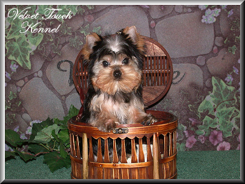 Teacup Yorkie Puppy For Sale!