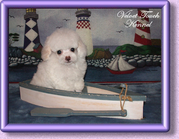 Beautiful Lovely Tiny Tiny Teacup Poodle Puppies_3314630jpg