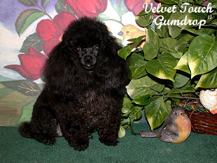 Teacup Female Poodles