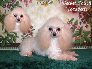 Teacup Female Poodles