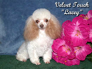 Teacup Poodle Female and Toy Poodle